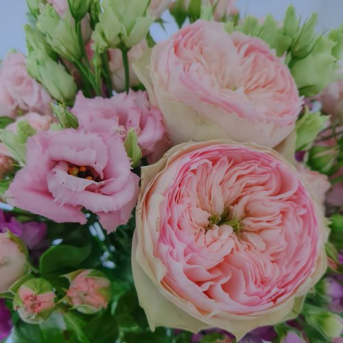Deutsche rosa Gartenrosen